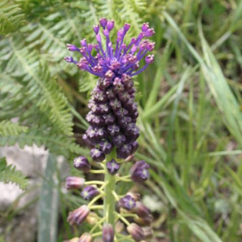 Giacinto-siciliano-(Bellevalia-dubia)